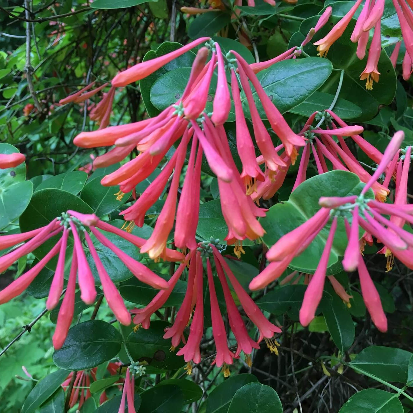 Redbud Native Plant Nursery Coral honeysuckle